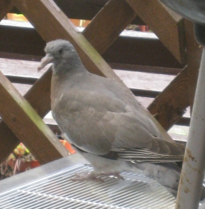 The pigeon collecting itself after its adventure